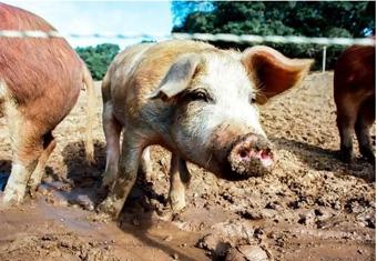 pig-web-pict