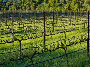 wine-vines